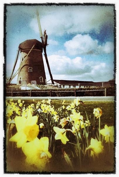 Daffodils Windmill by conrad