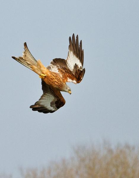 Red Kite in Dive by MalcolmB