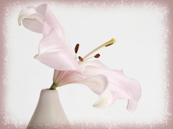 Pink Lily by JenniCh