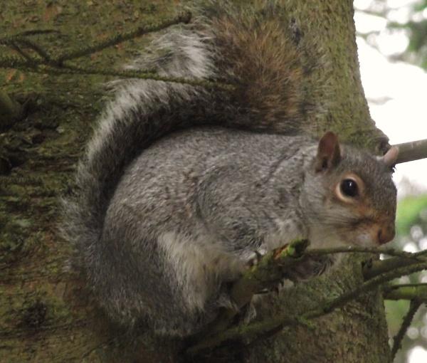 Squirrel by telfordtrio