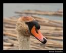 Mute swan portrait by tomcat