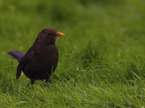 Blackbird by skewey