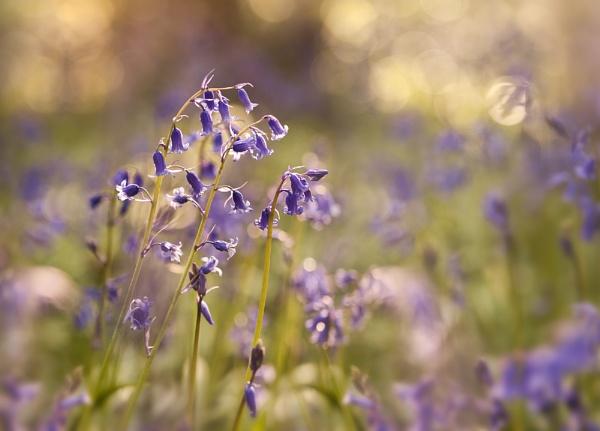 Bluebells by garymcparland