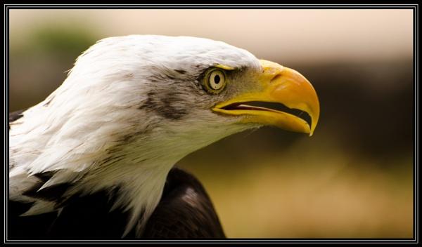 American Eagle by MrBMorris