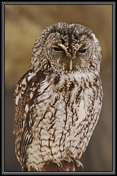 Tawny Owl, Strix aluco by MrBMorris