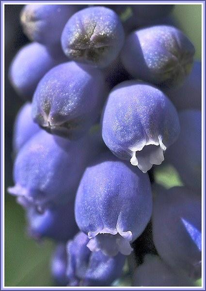 Grape Hyacinth by JPatrickM