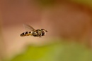 In-flight Hoverfly