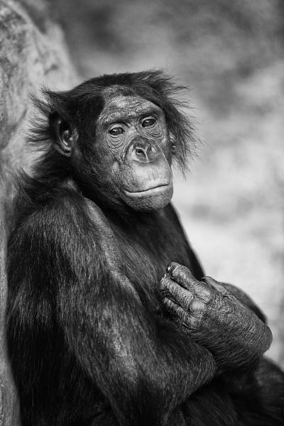 Bonobo II by DanG