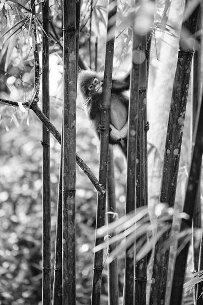 Dusky Leaf Monkey by DanG