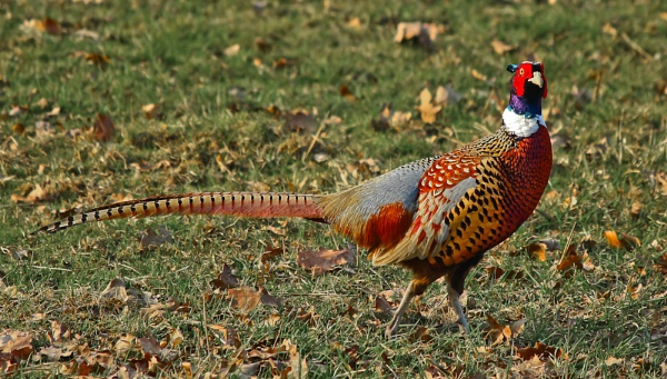 Pheasant by PhotoMorph
