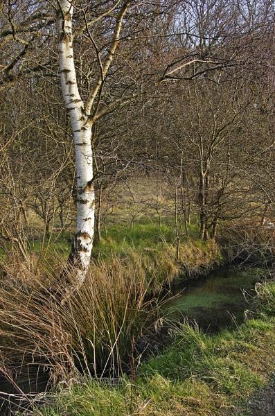 Birch by sharlotte51