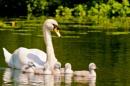 Swan Brood