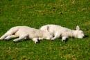 While Sleeping Lambs Lie...