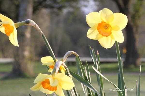 Golden Daffodils by mio2mio