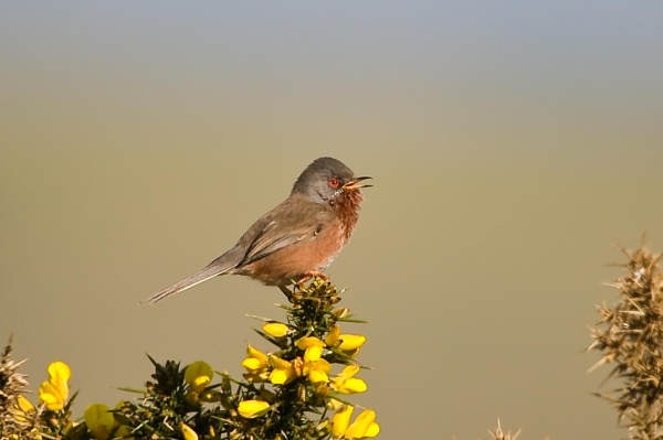 dartford warbler by hammihamster