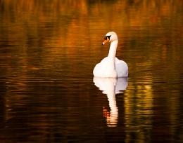 Yewbarrow Swan