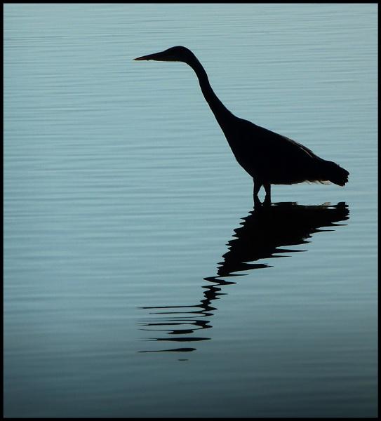 Heron Profile. by Niknut