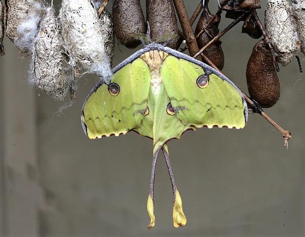 Luna Moth by f8