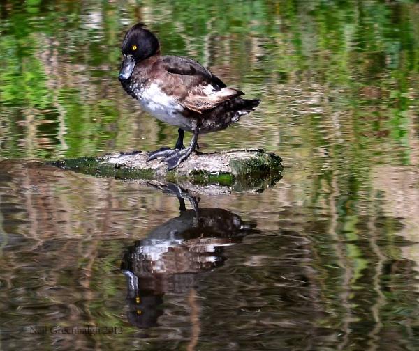 Tufted Duck by greenie
