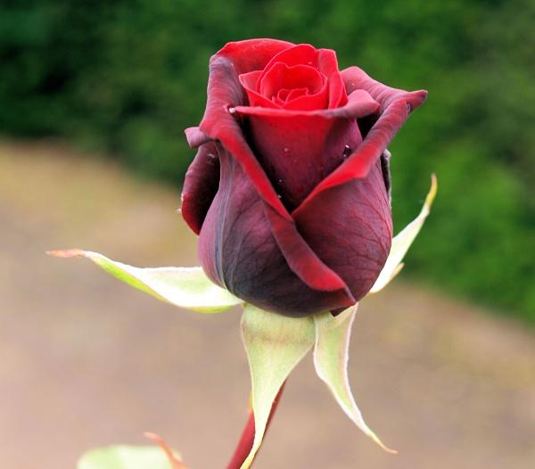 Rose by ScottishHaggis
