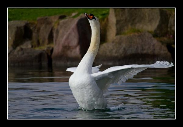 Swan\'s Pose by darrenwilson41