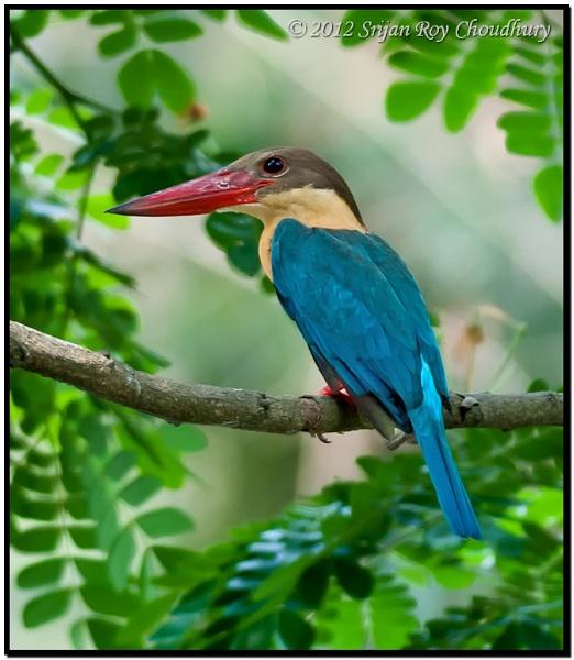 Stork-billed Kingfisher #1 by Alokchitri