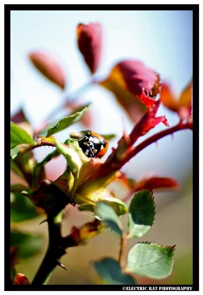 Ladybird Adventures by electricratphotography