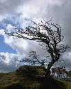 Hawthorn Bush by topsyrm