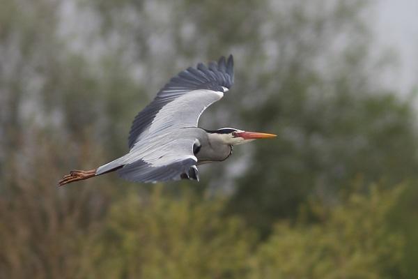 Heron by PaulB45