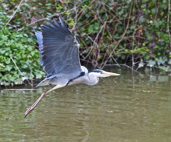 Heron in flight by Kentoony