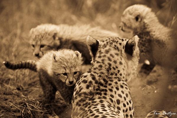 Cheetah cubs by TomCoetzee