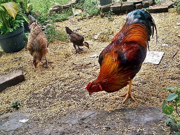 Chicken Family by arhab