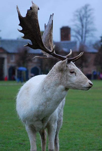 A Dunham Deer by photohog69