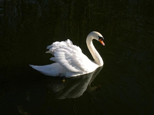 Early morning Swan by eddiemat
