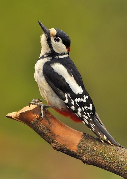 Posing Pecker ! by KBan