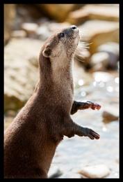 Otter no.1