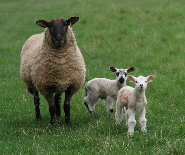 Lambing Time III by Glostopcat