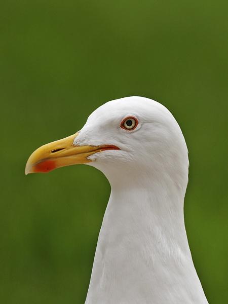 Herring Gull by skewey