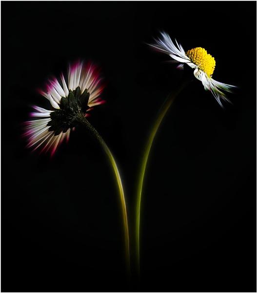 Daisy 20125 by iancatch