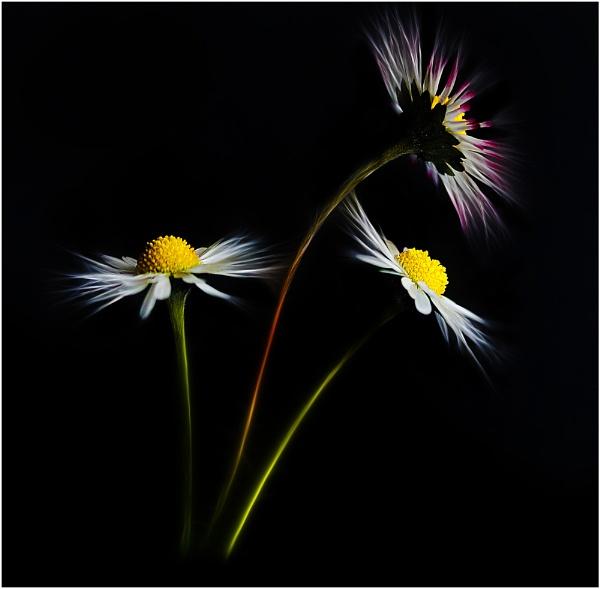 Daisy 20126 by iancatch