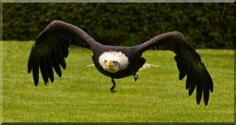 Liberty's Alaskan Bald Eagle Again