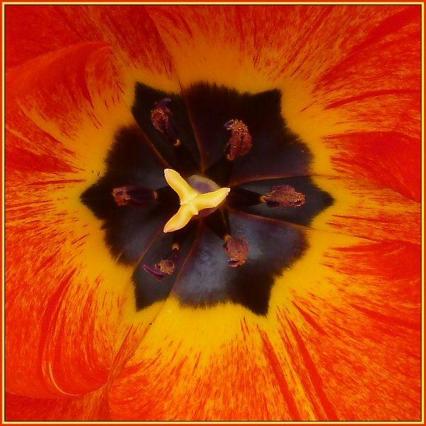 Tulip by JPatrickM