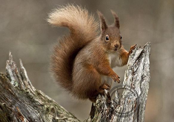 Red Squirrel. by jocneilson