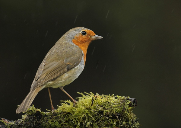 Robin in the rain by SurreyHillsMan