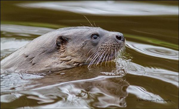 Otter Profile by Mstphoto