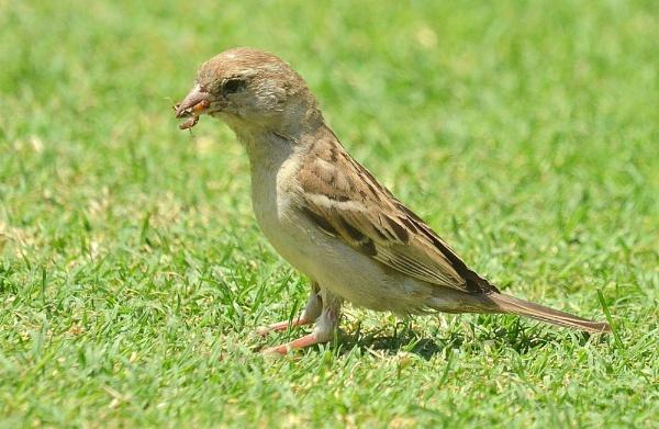 Female Sparrow by JoshReptiles
