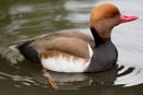 Duck by Steveh550