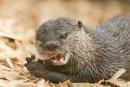 Otter eating by Steveh550