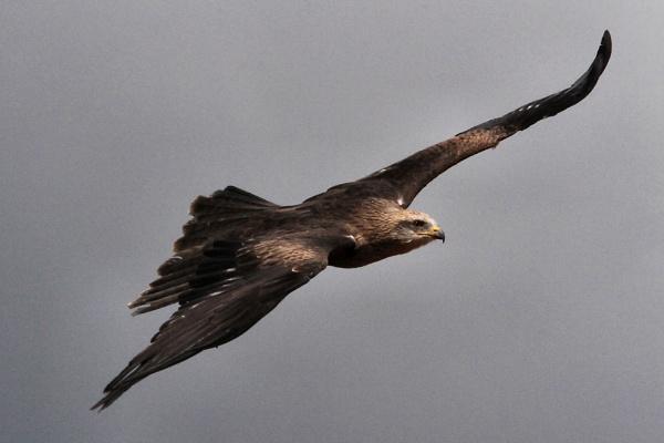 Kite in Flight by shifter46