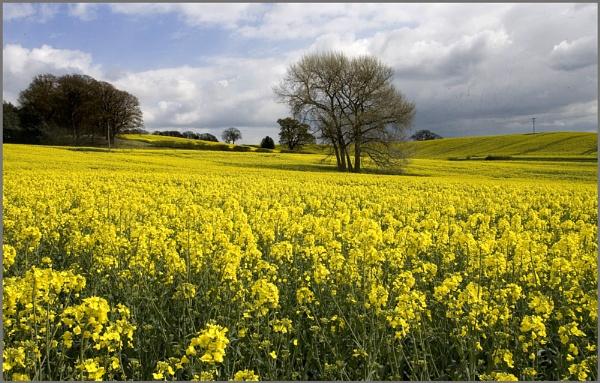 Rape Flower field by f8